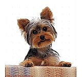 YORKSHIRE Terrier. 1 Macho disponible.
