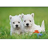 West Highland White Terrier- SOLO 1 HEMBRA DISPONIBLE PARA ENTREGA.