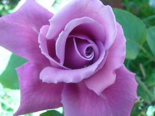 Fondo Primavera álbum Classic Flores Violetas: Fotos De Rosas Color Violeta